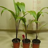 주병야자-공기정화 최고식물-속성수-잘큼-실내식물|