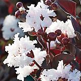자엽백일홍 블랙다이아몬드(백색꽃)/배롱나무묘목/백일홍묘목|