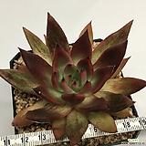 메릴그림 자구 (Echeveria agavoides 'Meryl Grimm', offset)|