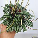 페페 페페로미아 공기정화식물|