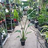 극락조 1촉 묵은둥이 상처있음 식물이해 필요 90~120cm 199|