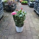 장미 야생화 꽃 중품 공기정화식물 30~45cm 79  색상랜덤|
