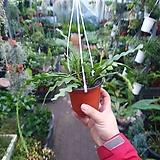 립살리스쇼우 생선뼈선인장 소품 #5~40cm 공중식물 수입식물 99|