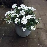 이메리스 중품 야생화 공기정화식물 15~25cm 79|