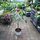 세이브릿지야자 세브릿지야자 중품 공기정화식물 40~60cm 59|