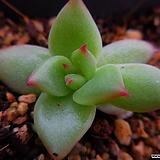 가이아 잎꽃이(모주참조)6089