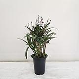 긴기아난 복카시/공기정화식물/반려식물/온누리 꽃농원|