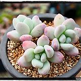 후레뉴 군생(자연,목대)|Pachyphytum cv Frevel