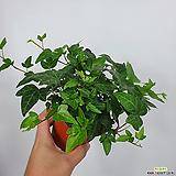 아이비  공기정화식물 초특가 한빛농원|Heder helix