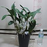 대명석곡21번-꽃대3대-향기기절초풍-사진의 동일품배송|