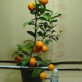 레몬라임4번-향기죽음-황금빛열매-년중피고지고-동일품|