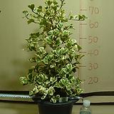스윗하트고무나무#12번-국내최고상품 최저가격-동일상품발송|Ficus elastica