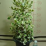 스윗하트고무나무#13번-국내최고상품 최저가격-동일상품발송|Ficus elastica