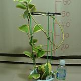 하트호야3번-꽃대 여러개 있음-동일품발송|Hoya carnosa