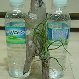볼보사관중1번-꽃대 있음-동일품발송|