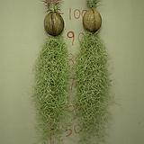 수염틸란드시아-야자열매걸이-동일품배송|Tillandsia