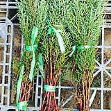 특가기간세일상품,블루아이스나무(접목2년,30cm)10주묶음,목하원예조경|