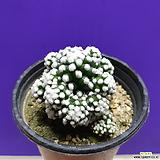 눈꽃 선인장|Mammillaria gracilis cv.