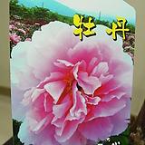 목단3번-분홍목단-일본수입-최고상품-동일품배송|