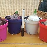 히야신스 4색모음 (4색칼라분)히아신스|