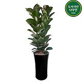 고무나무 개업축하화분 거실관엽식물 DLP-379|Ficus elastica