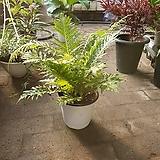 보스턴고사리 중품 공기정화식물 고사리 40~50cm 79|