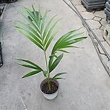 아레카야자 인테리어야자 공기정화식물 50~70cm 45|