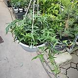 별아이비 행긴 공중식물 아이비 40~50cm 79|Heder helix