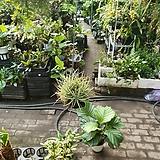 돛단배 이오난사 공중식물 35~45cm 39|