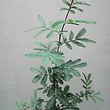 은엽아카시아3272-외목대,동일품배송