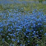 시노글로섬-중국물망초/7개/모종/8cm포트|