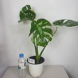 무늬몬스테라 바리에가타 사진상품발송M-01 수입식물|