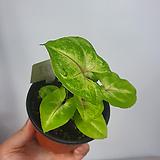 그린싱고니움 싱고니움 공기정화식물 사진상품발송B-01|