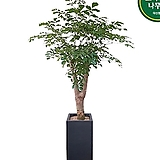 해피트리 행복나무 축하화분 병원화분 개업선물 DLP-380|