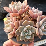 Echeveria Pretty in  Pink
