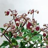 은초롱꽃~엔젤렘프|