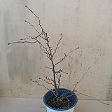 (단품)팔방운용후지벗나무 