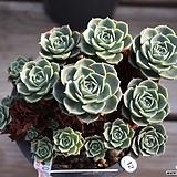 환엽롱기시마 군생 12|Echeveria longissima