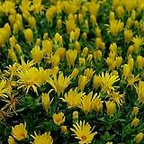 노랑송엽국-황엽국/6개/모종8cm포트|