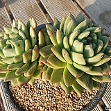 육종마리아 2두 자연군생 대품|Echeveria agavoides Maria