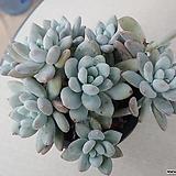 후레뉴 자연군생|Pachyphytum cv Frevel