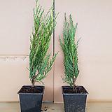 문그로우 측백나무 P9포트묘(30cm전후)/측백나무묘목/네덜란드수입묘목|