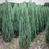 네덜란드수입 블루에로우 신품종향나무(15cm전후 재배용트레이묘)_측백나무묘목_수입묘목나무|