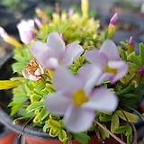핑크엔화이트 옥살리스 사랑초