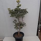 황금호랑카시나무/멋스러워요/높이120센치|