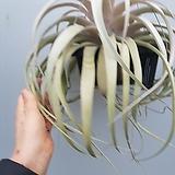 세로그라피카 특대품 수입식물|