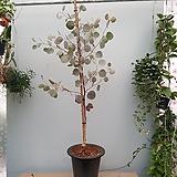 유칼립투스 폴리안  키 140~160cm가량  단단하게 자랐어요|