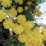삼각잎아카시아 (동일품배송 )|