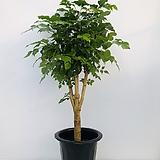 녹보수(동일품배송 )|happy tree