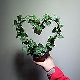 사랑을 선물하세요 하트아이비 99 